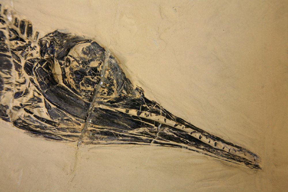 Ch1463e Mixosaurus panxianensis Mittl Trias Panxian Guizhou CN 302120386269 Ch1463e.jpg