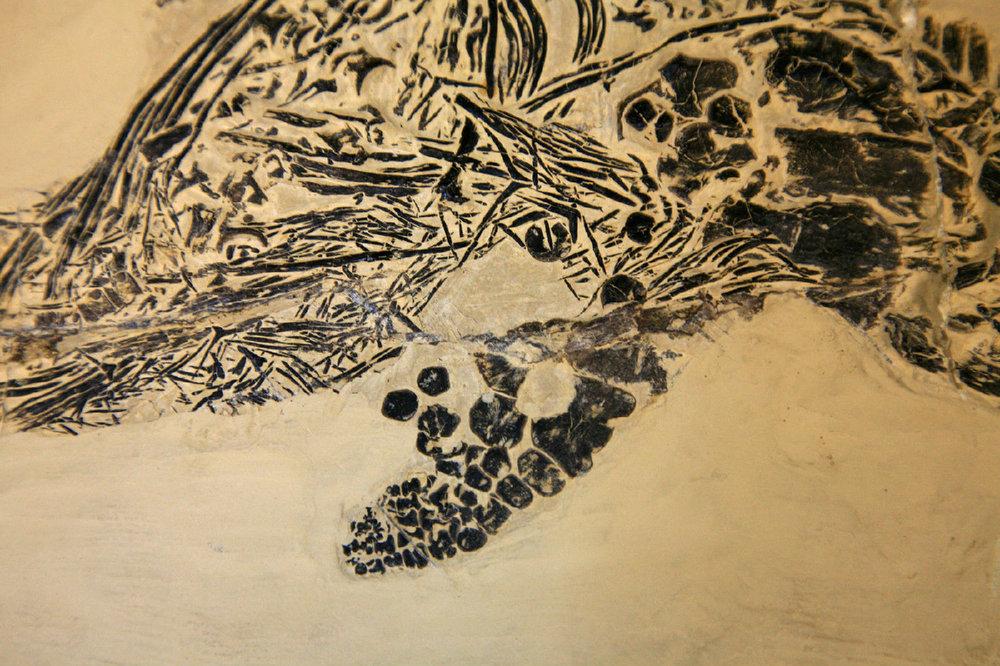Ch1463b Mixosaurus panxianensis Mittl Trias Panxian Guizhou CN 302120386269 Ch1463b.jpg