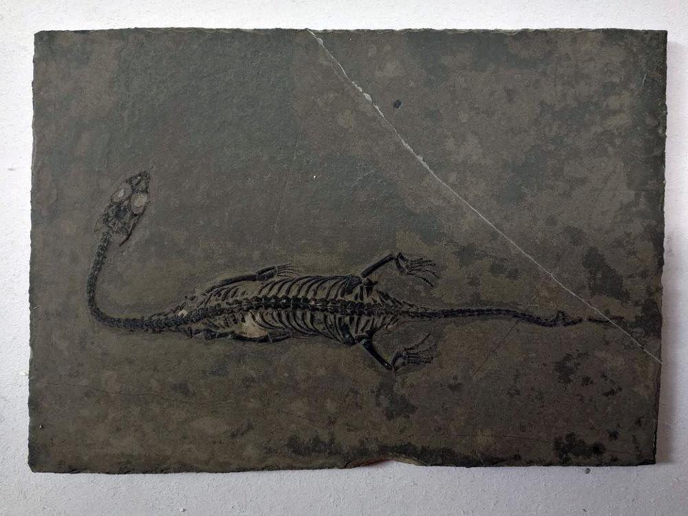 keichousaurus.JPG