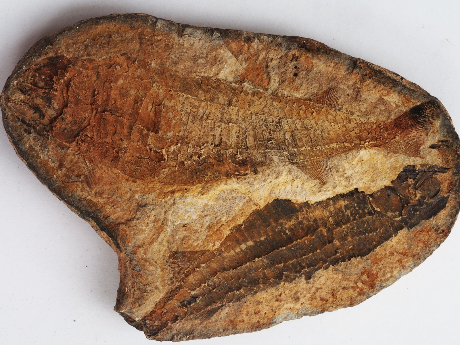 Australosomus merlei Piveteau, 1934