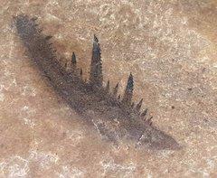Closeup of Pterygotus claw