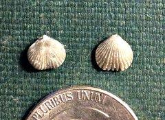 Tiny Anazyga (brachiopods) from Brechin, Ontario