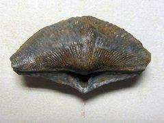 Cyrtospirifer verneuili (Murchison 1840)