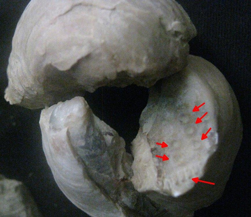59bda1a3be64b_Plioceneoystermarks.thumb.jpg.71d03b731cedd2a52c10e8fa5013351b.jpg