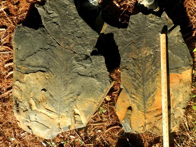 Danaeites Alethopteris macrophyllus (2).JPG