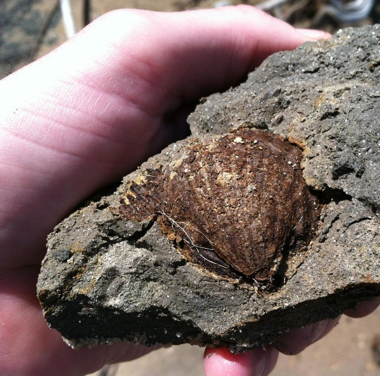 Fossil in clay at Caledon.jpg
