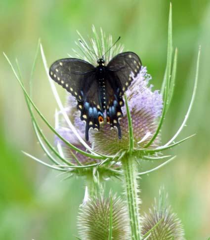 Pipevine Swallowtail 2.jpg