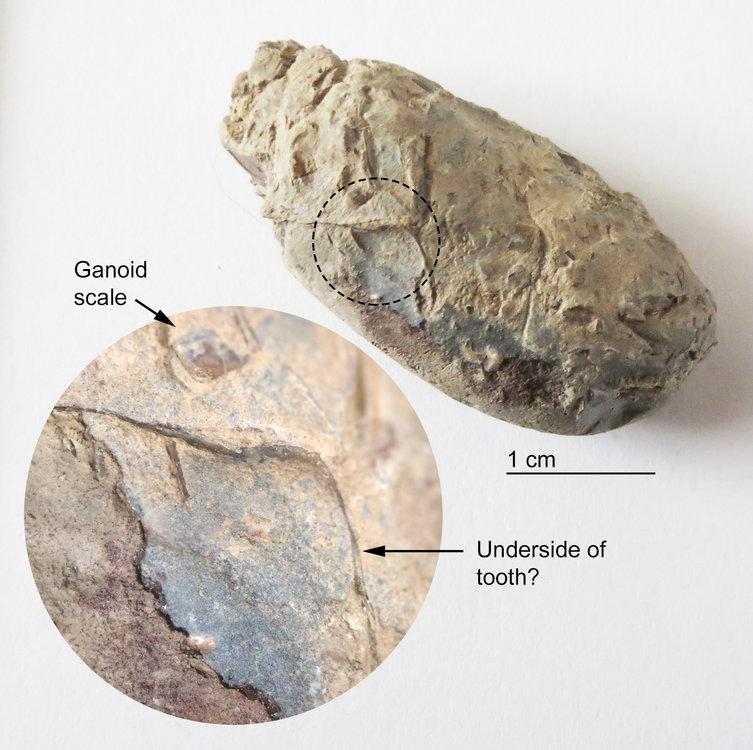 Marine-Coprolite-Ptychodus-Tooth-Fragment-Smoky-Hill-Chalk-10x-Combo-2.jpg