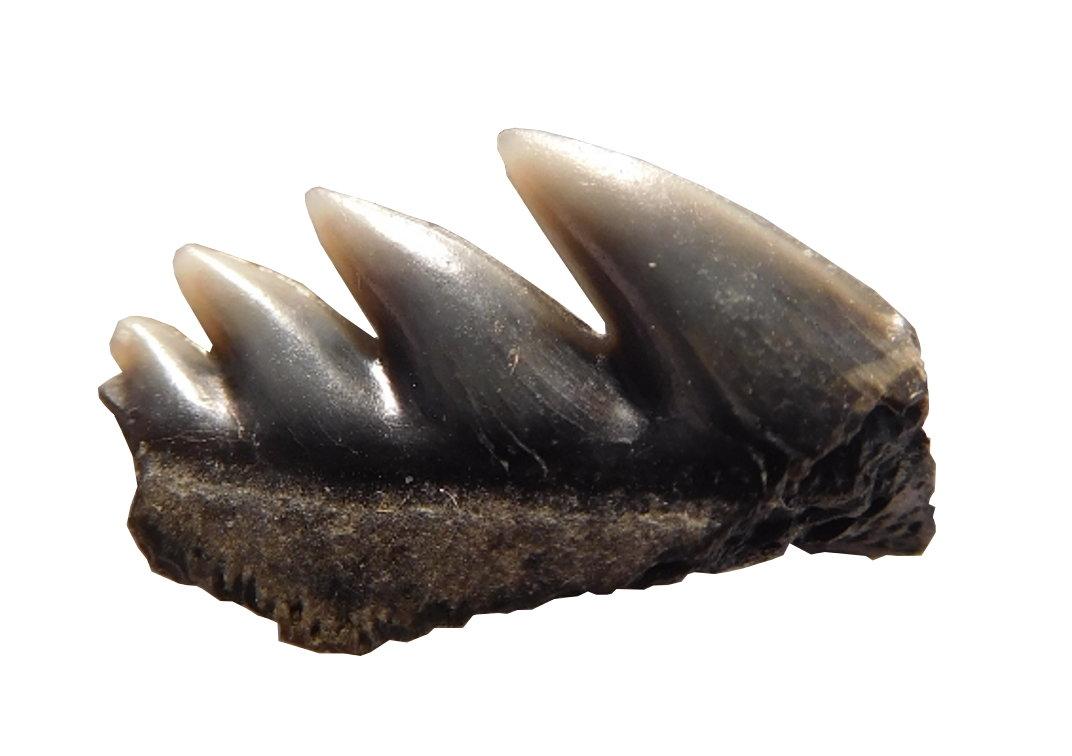 Notorynchus primigenius