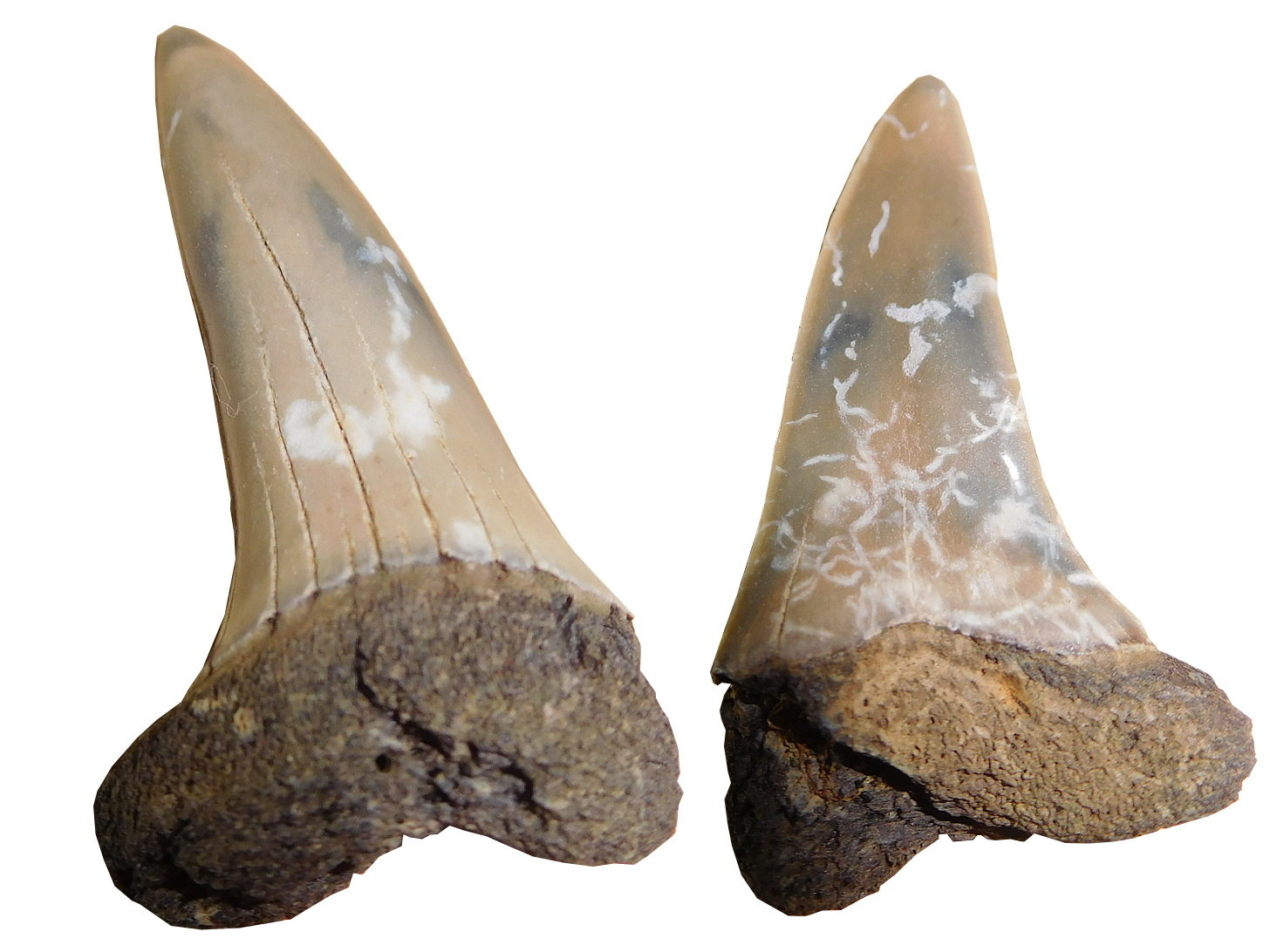 Isurus Oxynchus