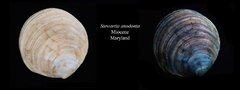 Flourescent Fossil Clam