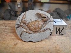 Orbitoplax weaveri