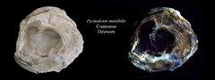 Flourescent Fossil Oyster