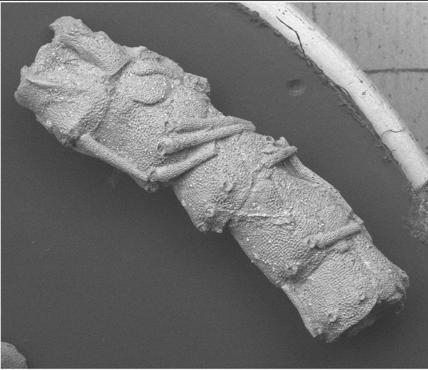 Enakomusium whymanae -arm fragment.jpg