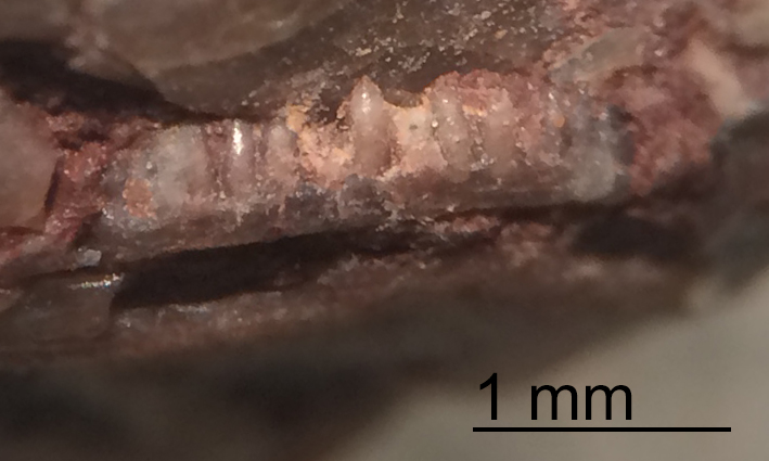 Coprolite-Jaw-Teeth-Bull-Canyon-Formation-New-Mexico-Micro.jpg