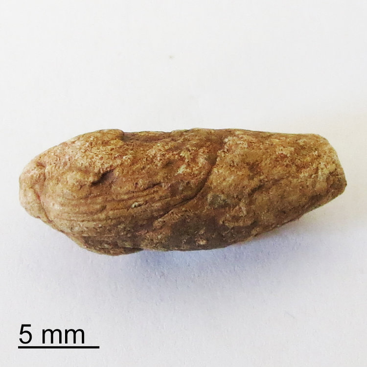 coprolite-sphincter-marks-quay-county-new-mexico-top2.jpg
