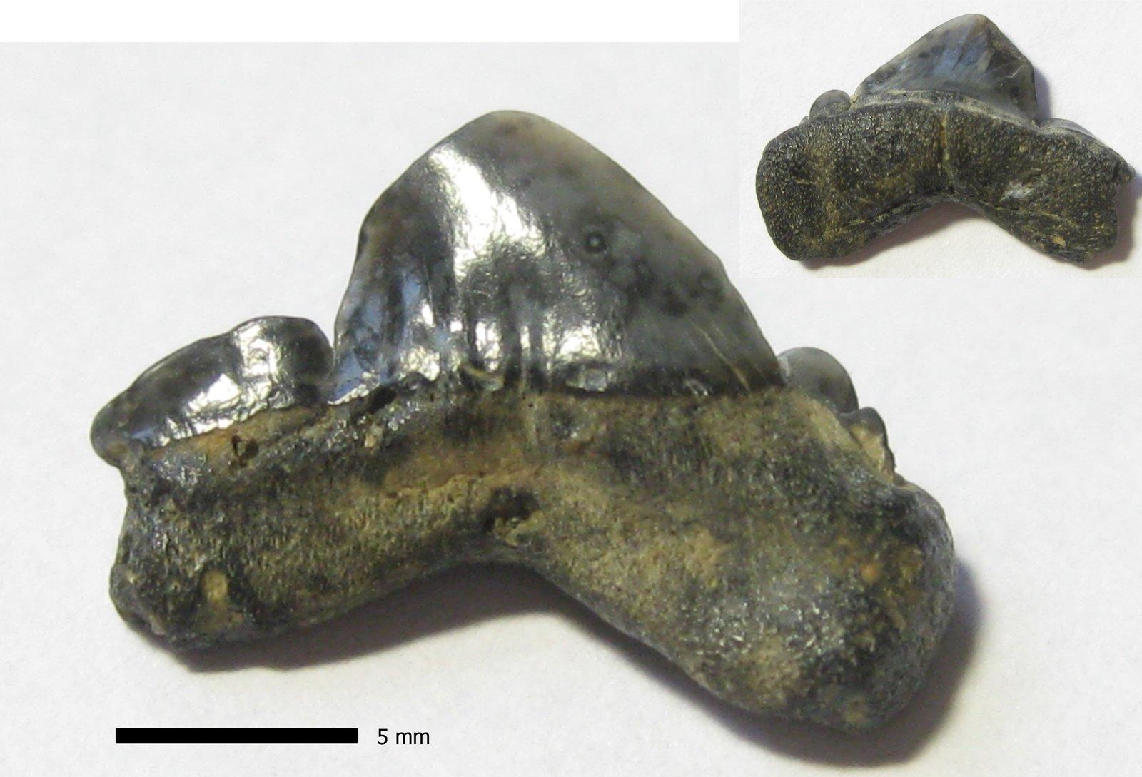 Striatolamia posterior