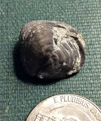 Rhynchonellida Brachiopod from the Kalkberg Formation, NY.