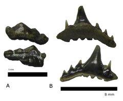 Synechodus dubrisiensis