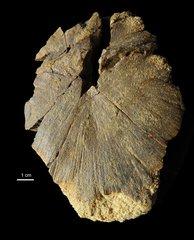 Interclavicule Metoposauridae
