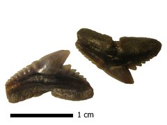 Eocene vertebrates of Ukraine