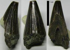 Ichthyosaur tooth