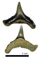 Synechodus dubrisiensis var. tenuis