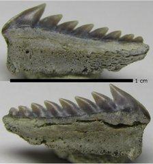 Hexanchus microdon
