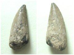 Protoshyraena