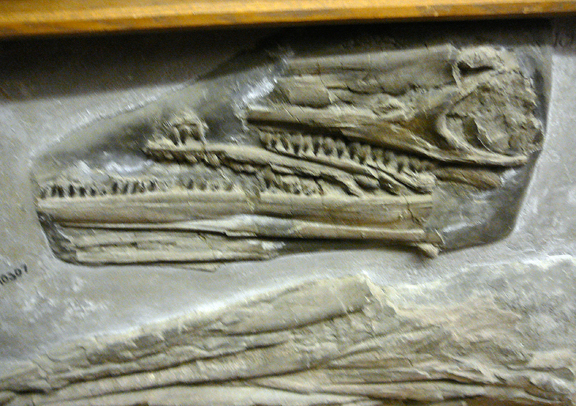 Saurian Remains donated 1874 by Thomas Hawkins 2.jpg