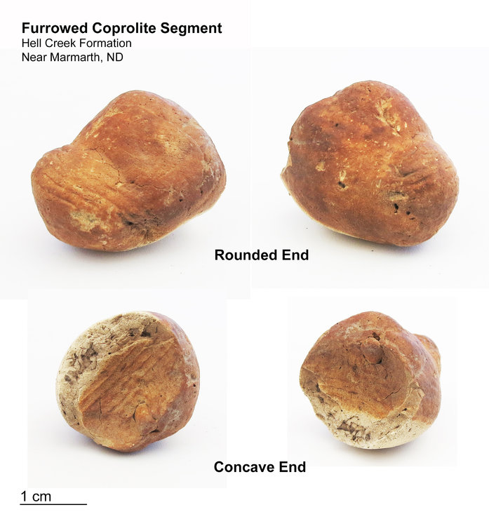 Cretaceous Furrowed Coprolite - Small.jpg