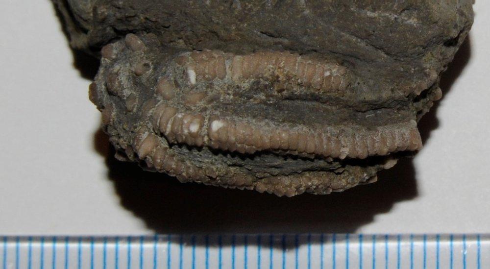 5a1f47ed09f52_Decadocrinus(3).thumb.JPG.dfac022566c987934e7cdbd9d68f8289.JPG
