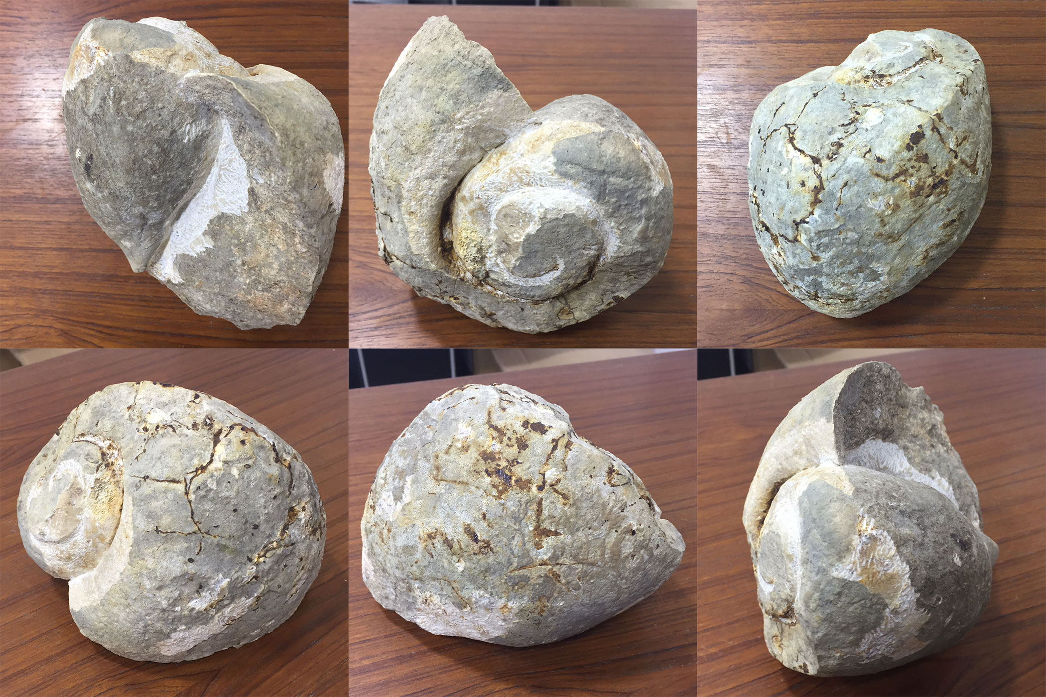Trying to identify these gastropod fossils - Fossil ID - The Fossil