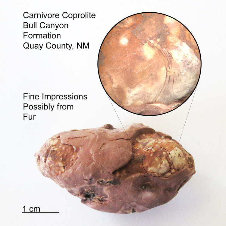 Coprolite-Fur-Impressions-Bull-Canyon-Formation-New-Mexico-1.jpg