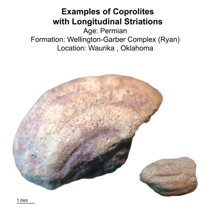 Examples_of_Permian_Furrowed_Coprolites-small.jpg