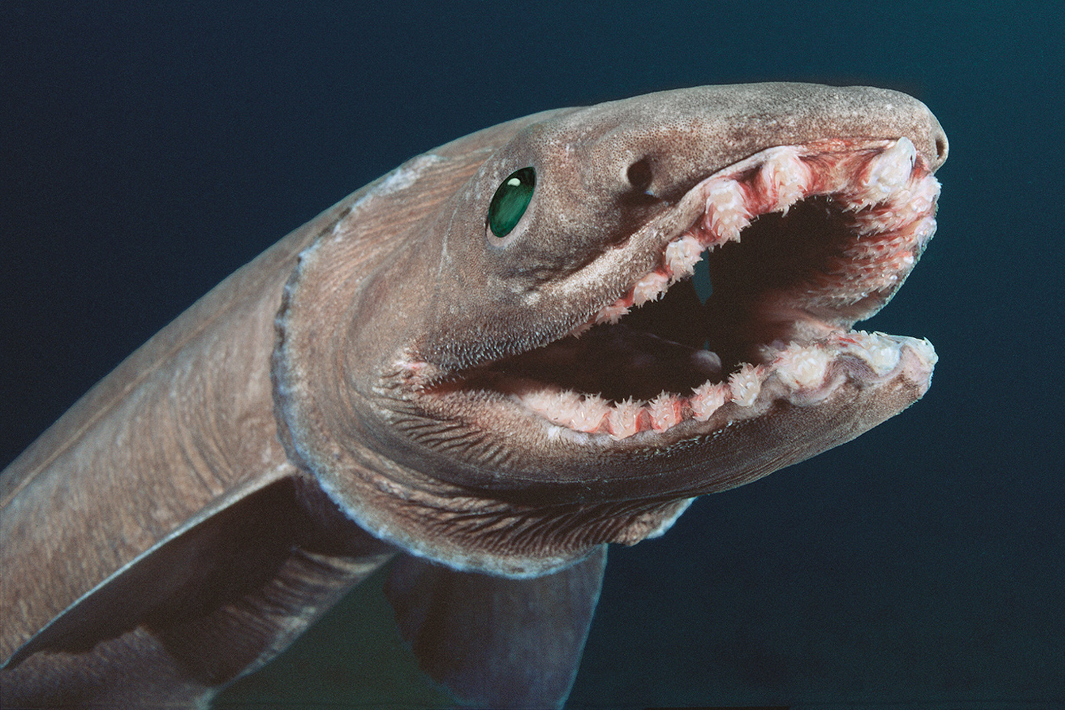 Frilled Shark Teeth - General Fossil Discussion - The Fossil Forum