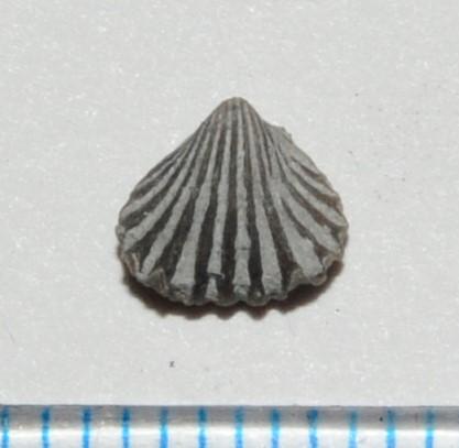 Leiorhynchus.JPG.5ec13b1fd248b145f633b8011ea00783.JPG