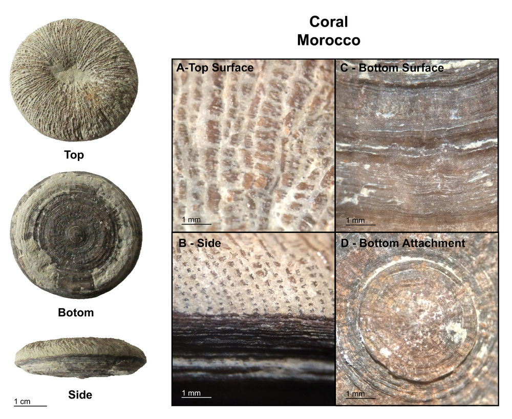 Solitary_Coral_-_Morocco_-_Small.jpg