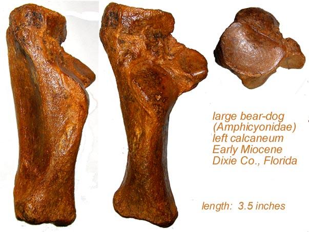beardogcalcaneumcomposite.jpg