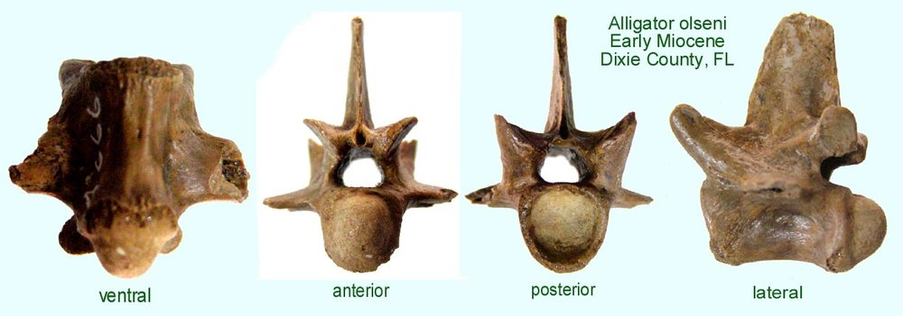 gator_vertebra.JPG