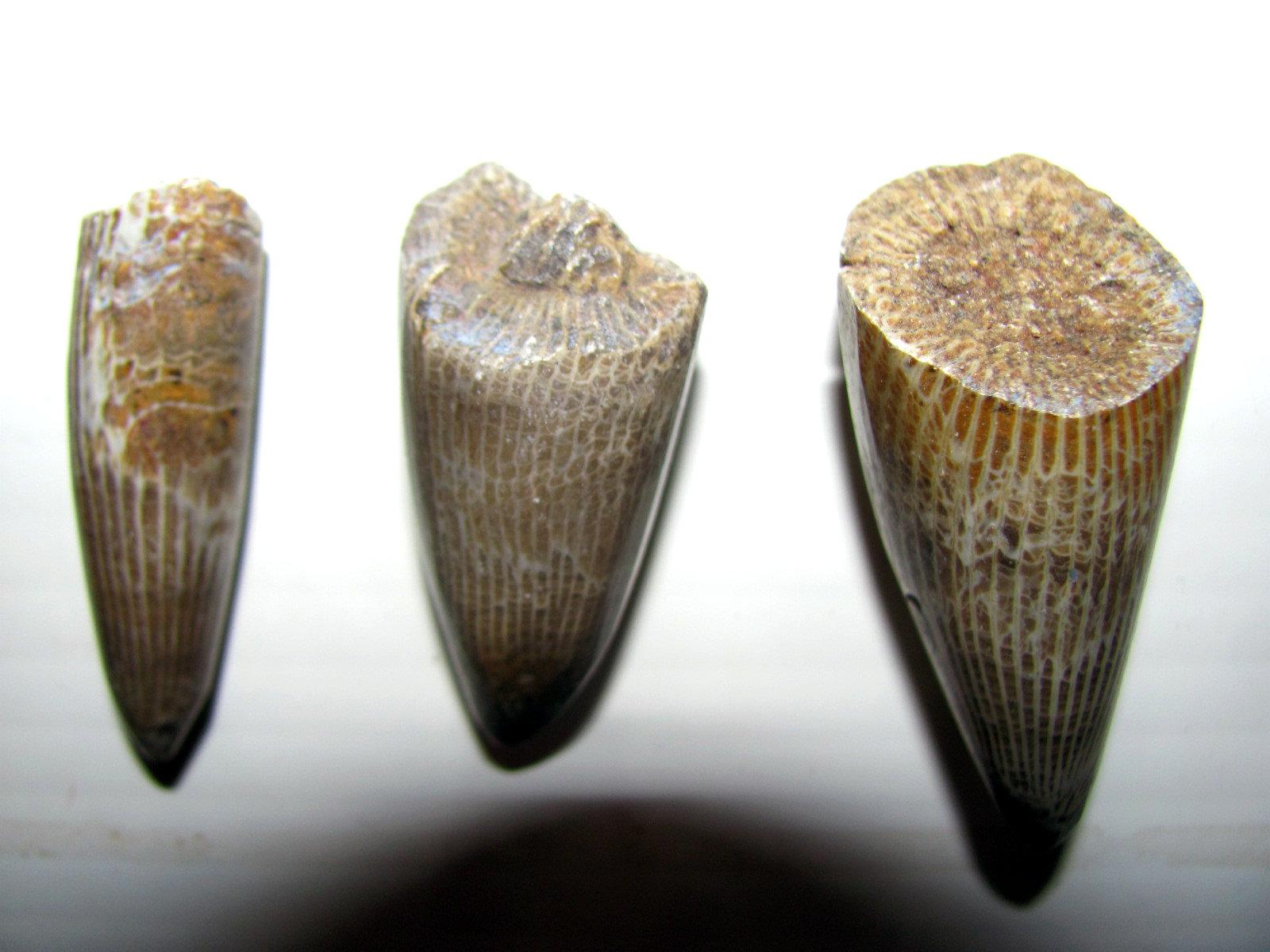 Polished Horn coral 1.jpg