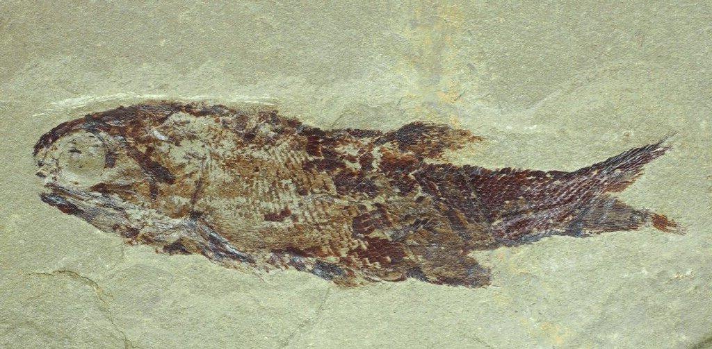 Palaeoniscidae indet