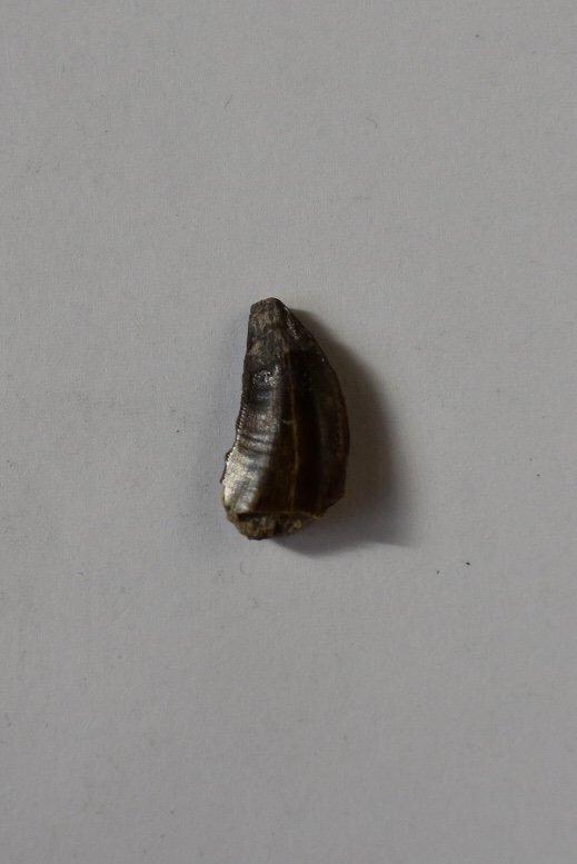 Allosaurus europaeus tooth