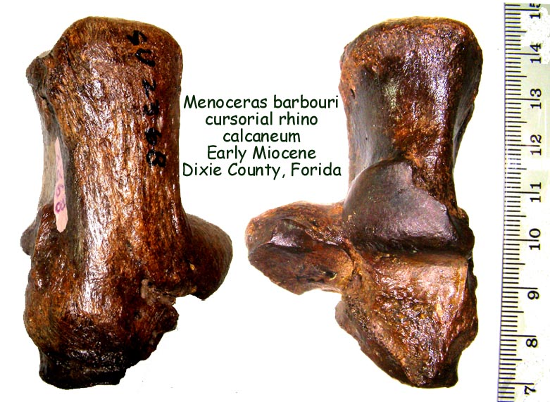 rhino_menoceras_calc_B.JPG
