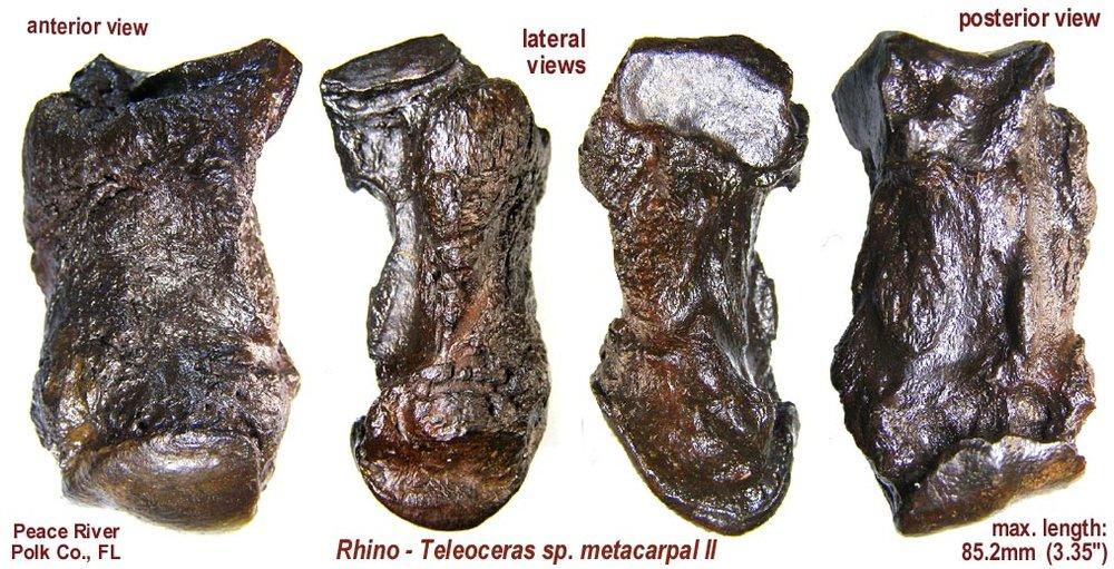 rhino_metacarpal_II.JPG