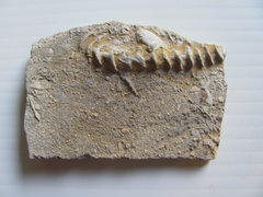 Bryzoan, Large Archimedes.JPG