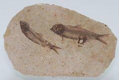 Knightia Fossil Fish.jpg