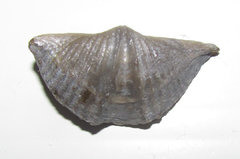 Mucrospirifer thedfordensis - fossil brachiopod A.JPG