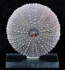 Sea Urchin Fossil - PHYMOSOMA a.jpg