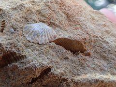 Brachiopod Fossil with Tentculites A.jpg
